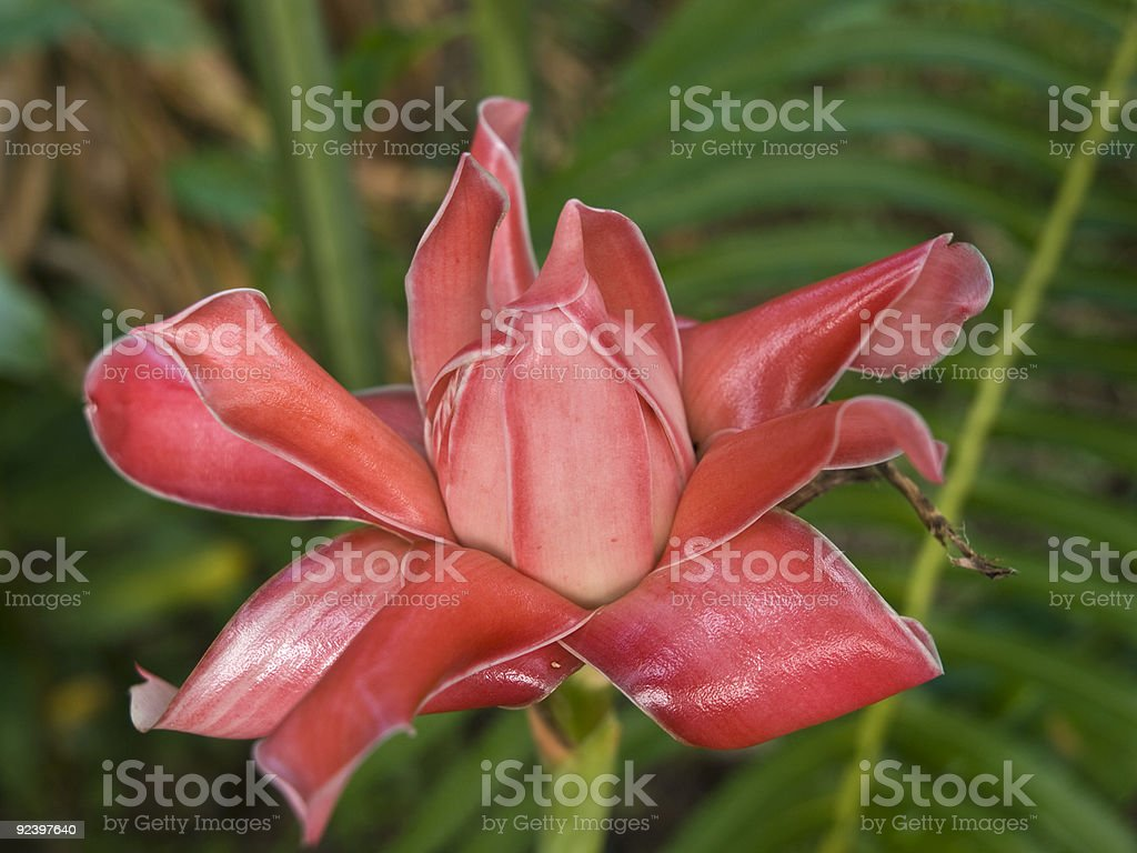 wild ginger stock photo