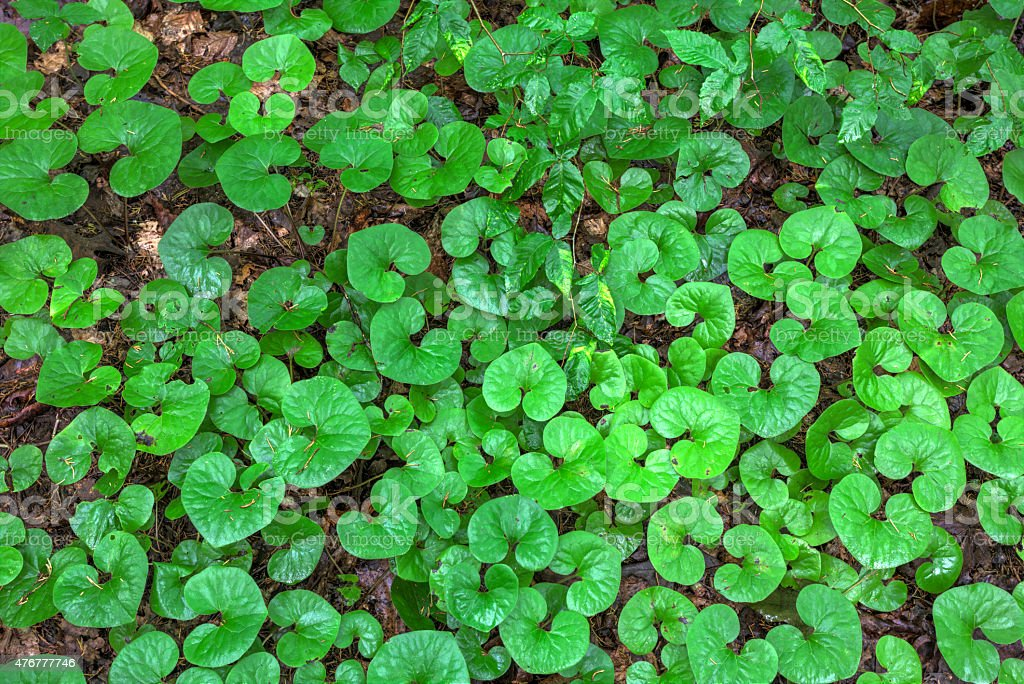 wild ginger plants stock photo