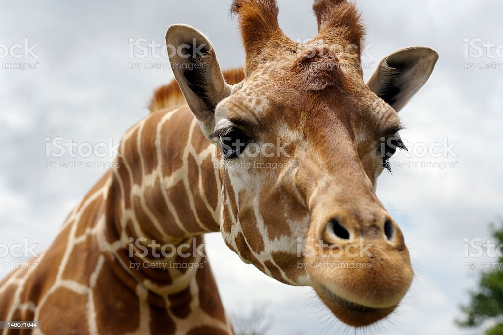 Wild giraffe stretching head out against cloudy background stock photo