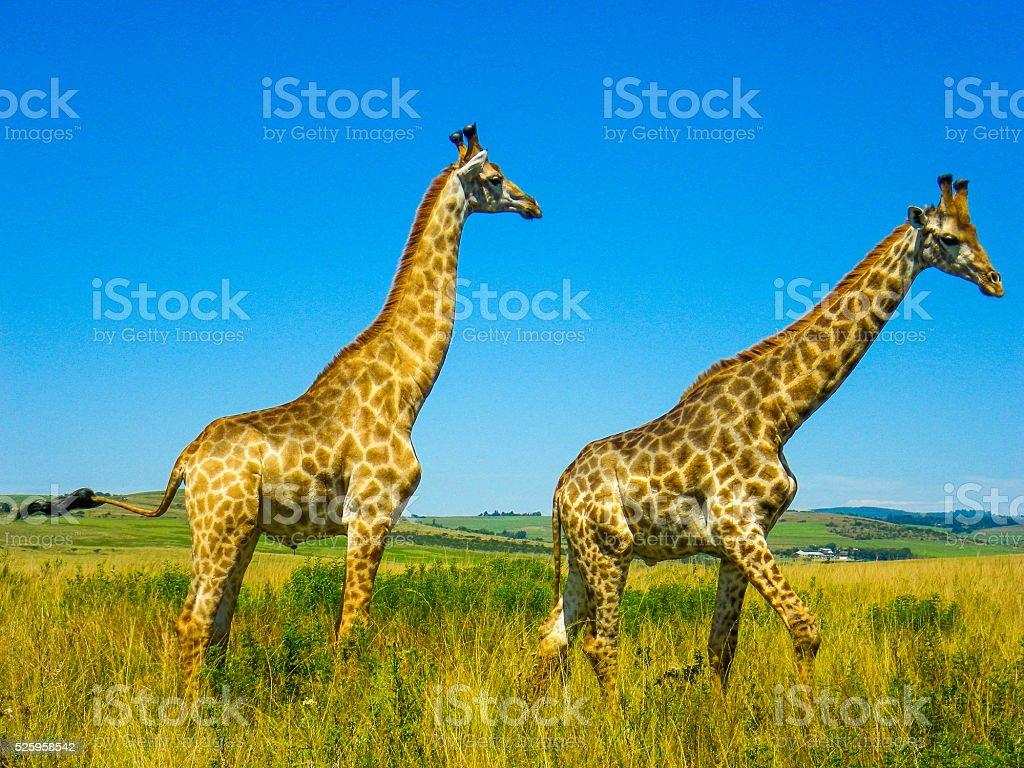 Wild Giraffe Two (Giraffa Camelopardalis) Savannah Africa stock photo