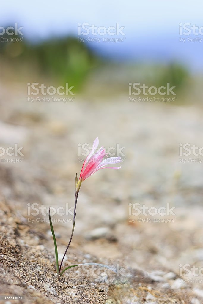 Wild Gladiolus, Akamas National Park, Cyprus royalty-free stock photo