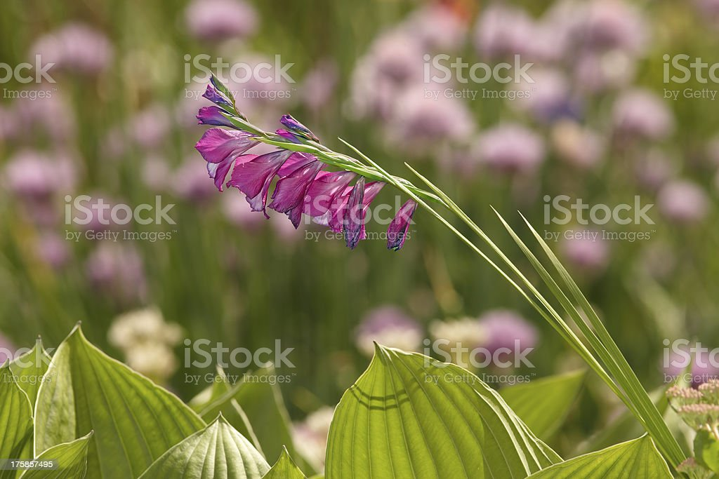 Wild gladiolus flower royalty-free stock photo