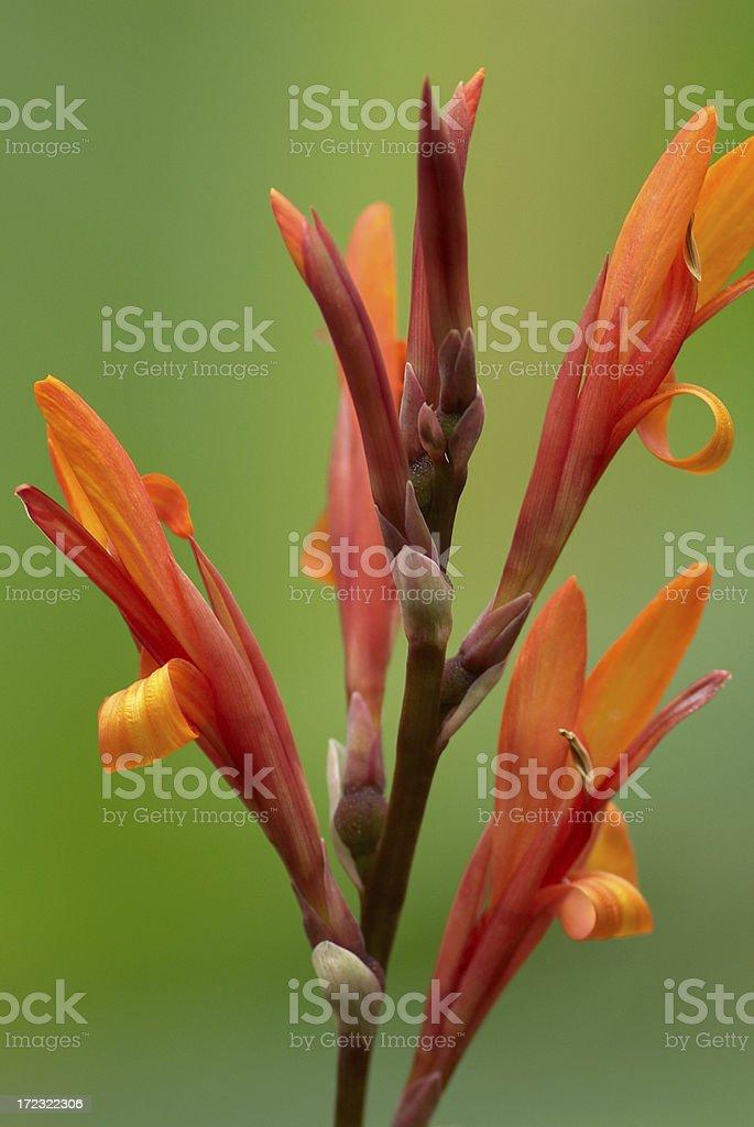 Wild Gladiolus royalty-free stock photo