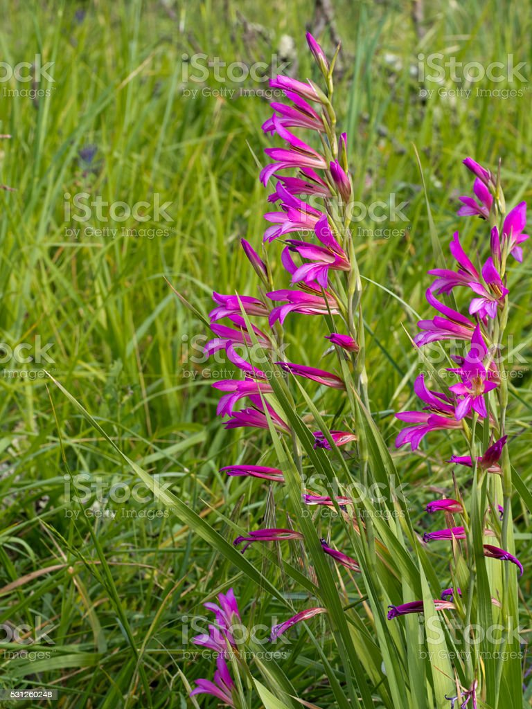 Wild gladiolus plants, flowers, in meadow. stock photo