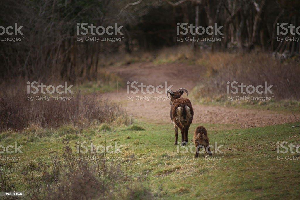Cabra silvestre y los niños foto de stock libre de derechos