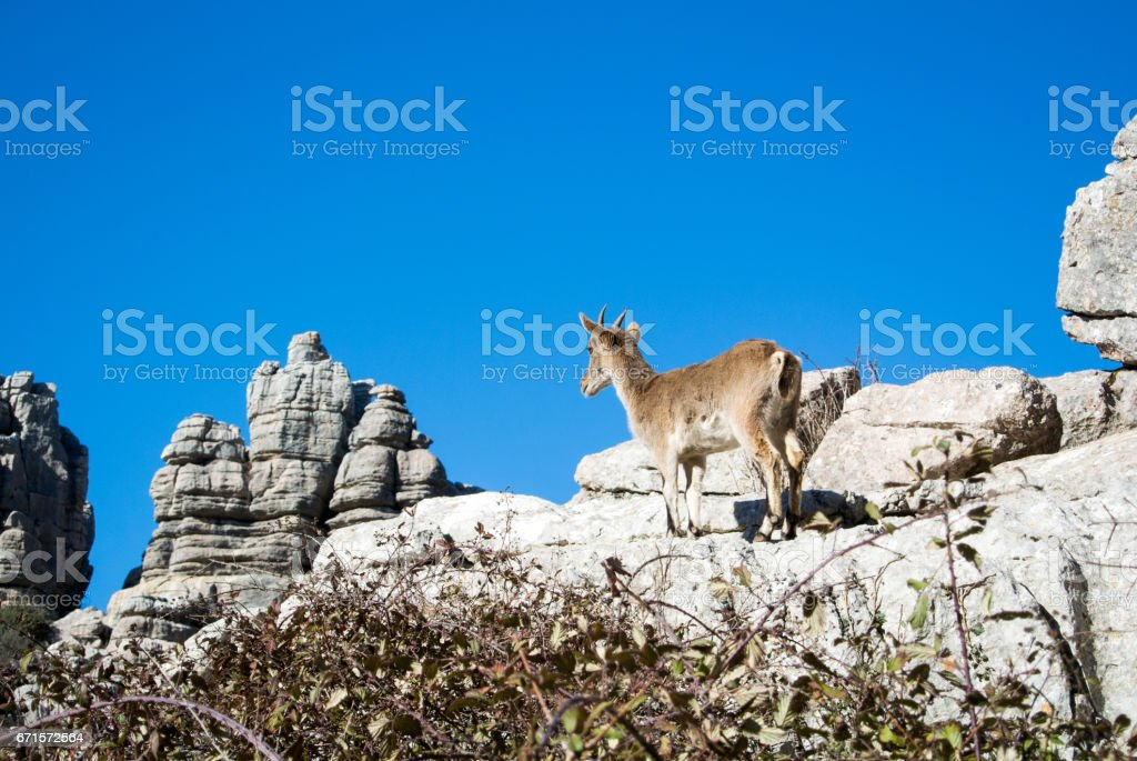 A wild goat at natural park El Torcal de Antequera in Malaga province, Spain. stock photo