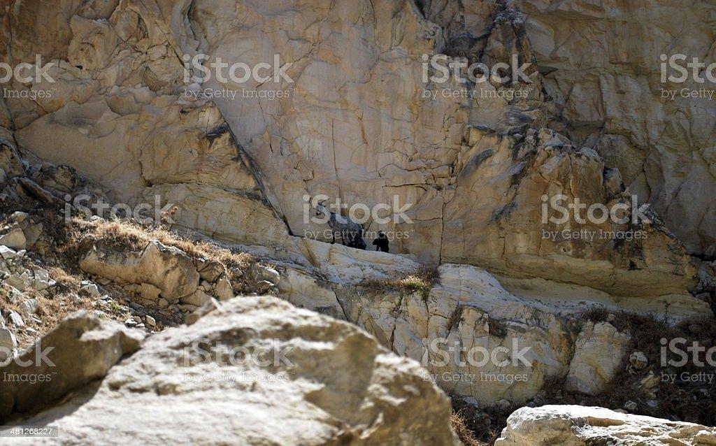 Wild goat generation royalty-free stock photo