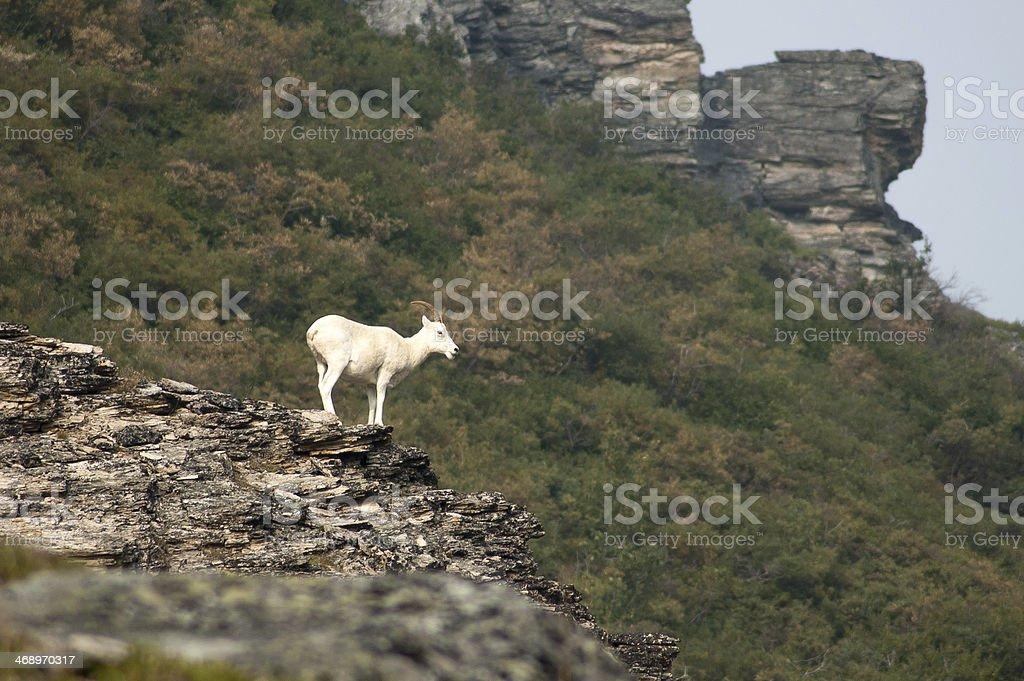 Wild goat of Alaska stock photo