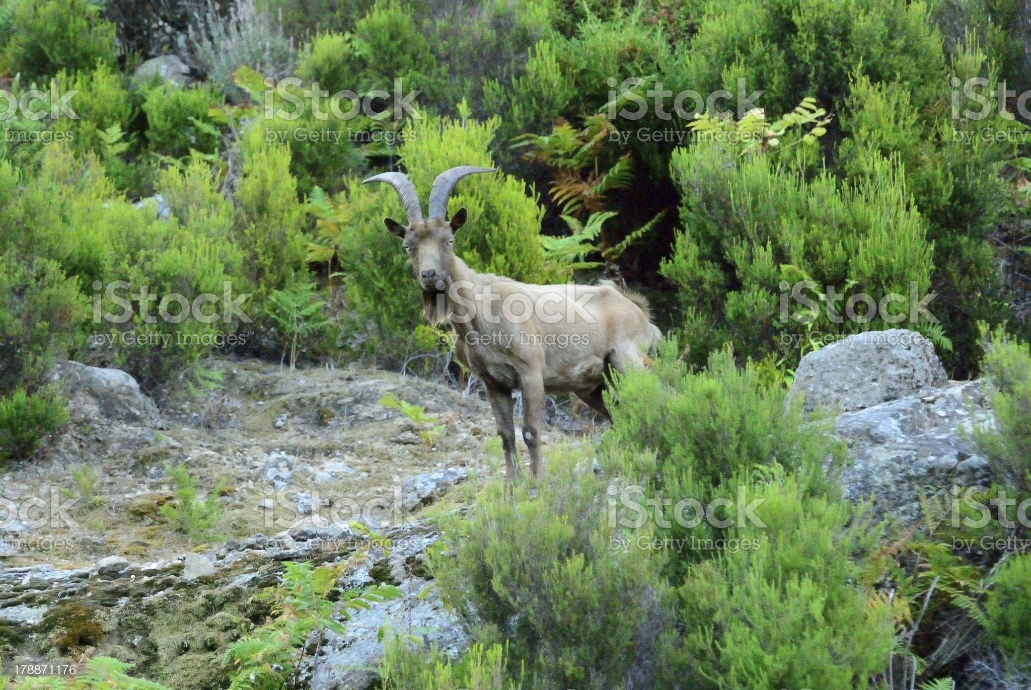 wild goat on Isle of Monte Cristo royalty-free stock photo