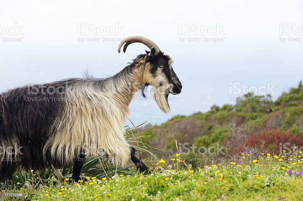 Wild Goat on the Island of Corsica stock photo