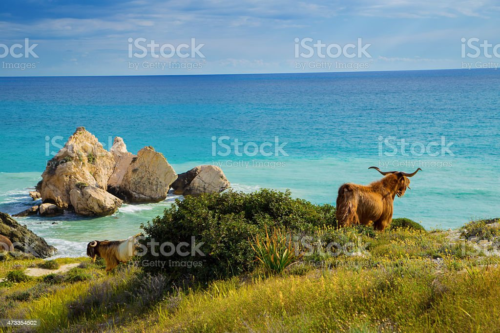 Wild goat overlooking the Mediterranean Sea stock photo