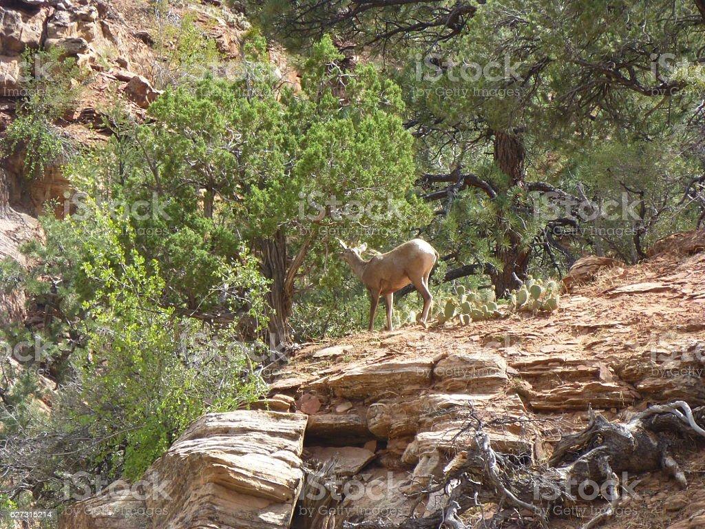 wild goat stock photo