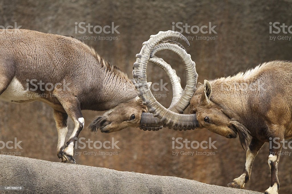 Wild Goats Fighting stock photo
