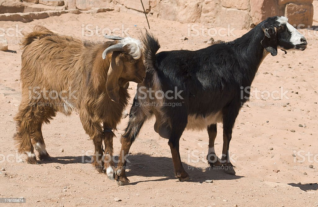 Wild Goats in Middle East stock photo