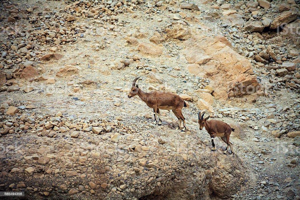 Wild goats in the Negev desert, Israel stock photo