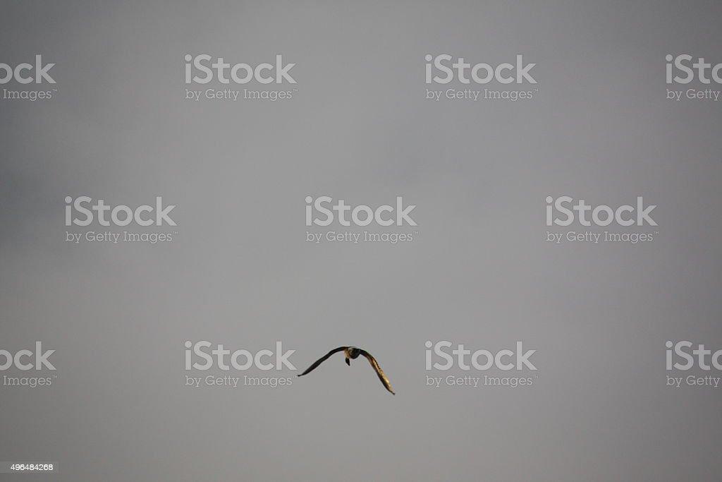 wild goose flying in golden evening light stock photo