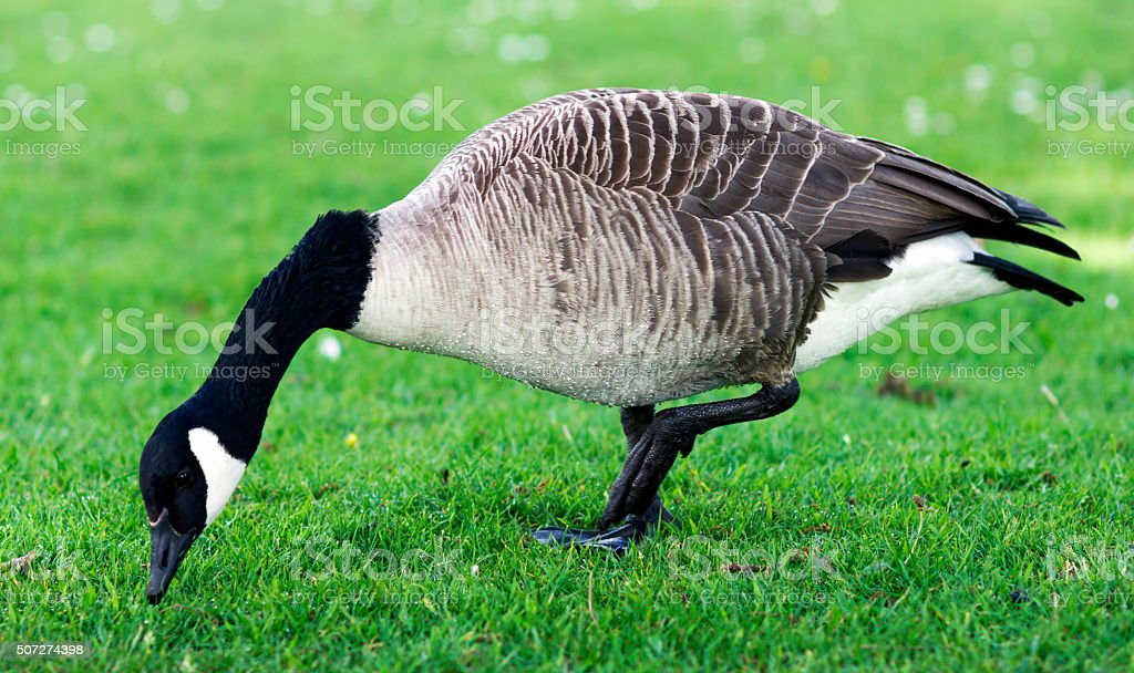 Wild Goose, Geese eating grass in the park. United Kinghdom stock photo