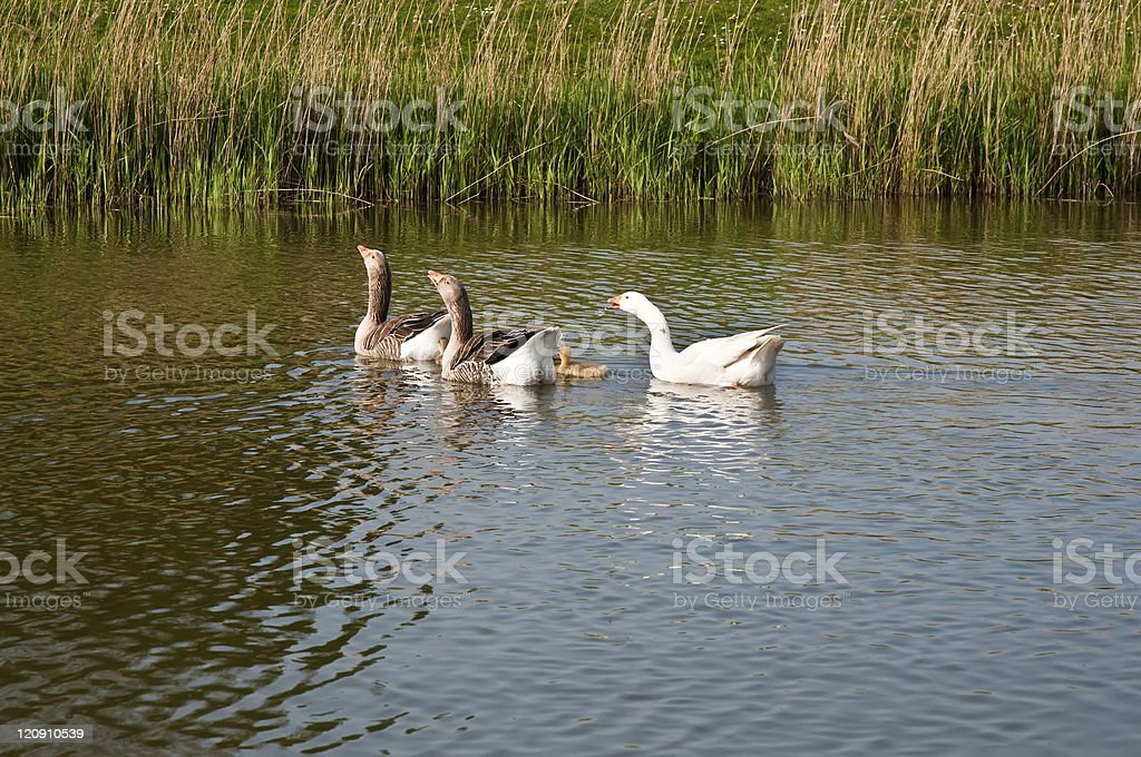 Wild goose . royalty-free stock photo