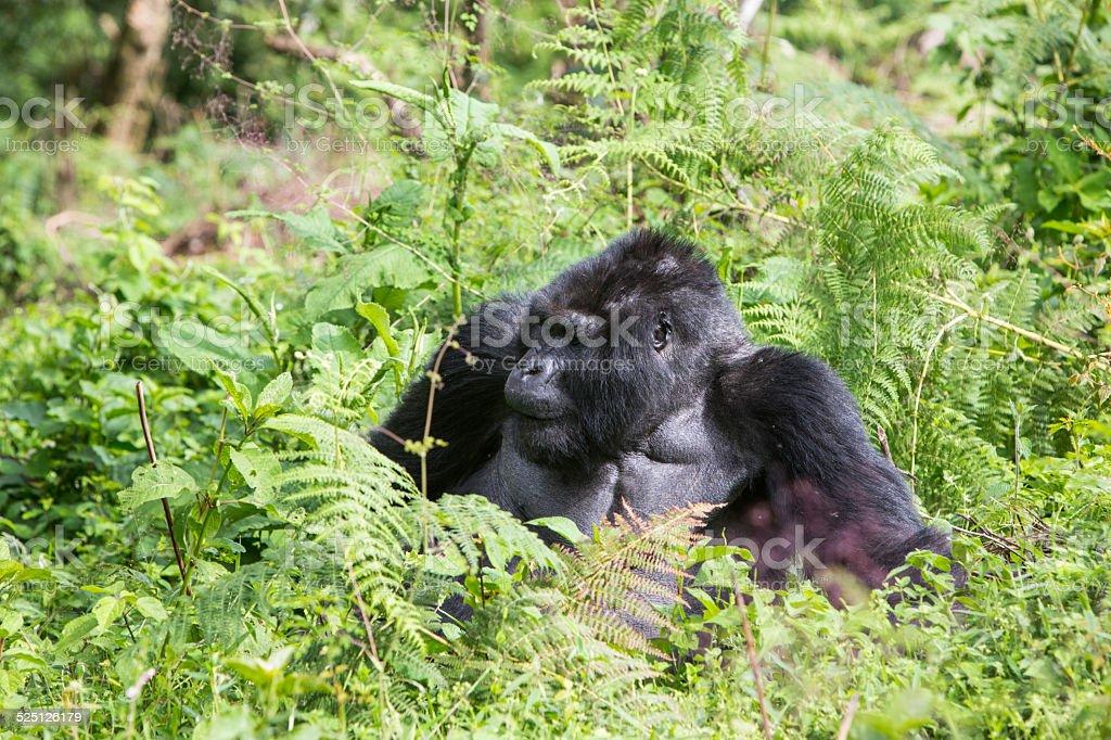 Wild gorilla eating plants stock photo