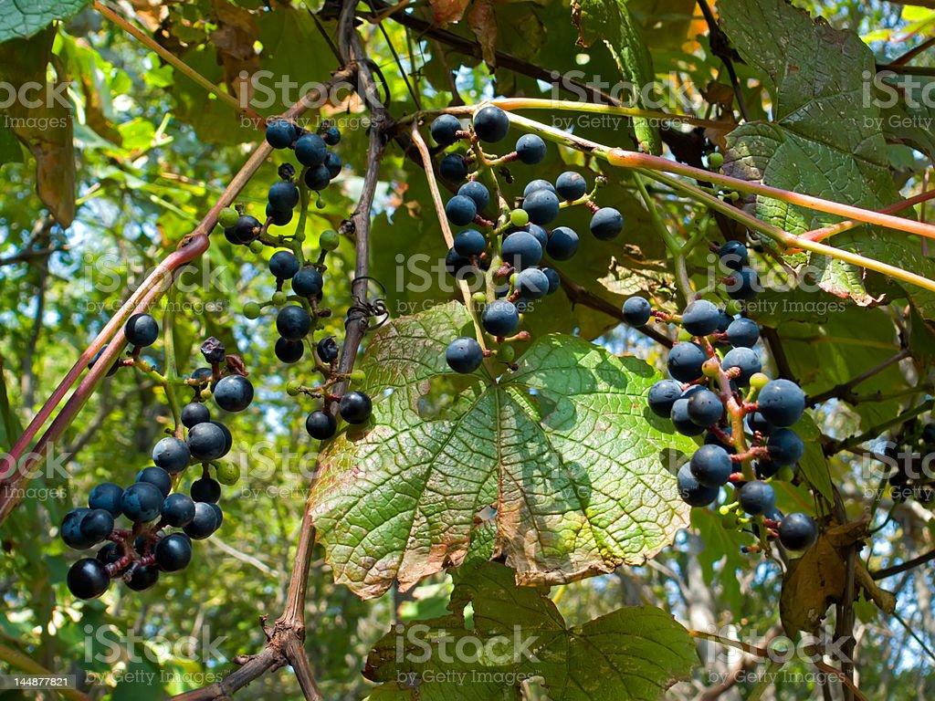 Wild Grape 8 royalty-free stock photo