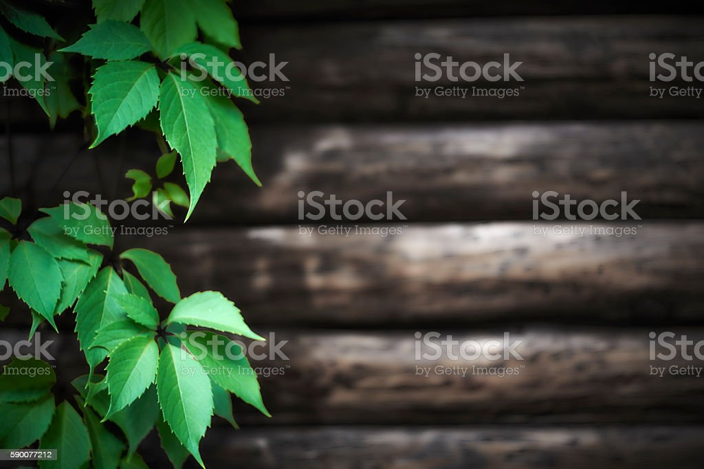 wild grape leaves against a log wall stock photo