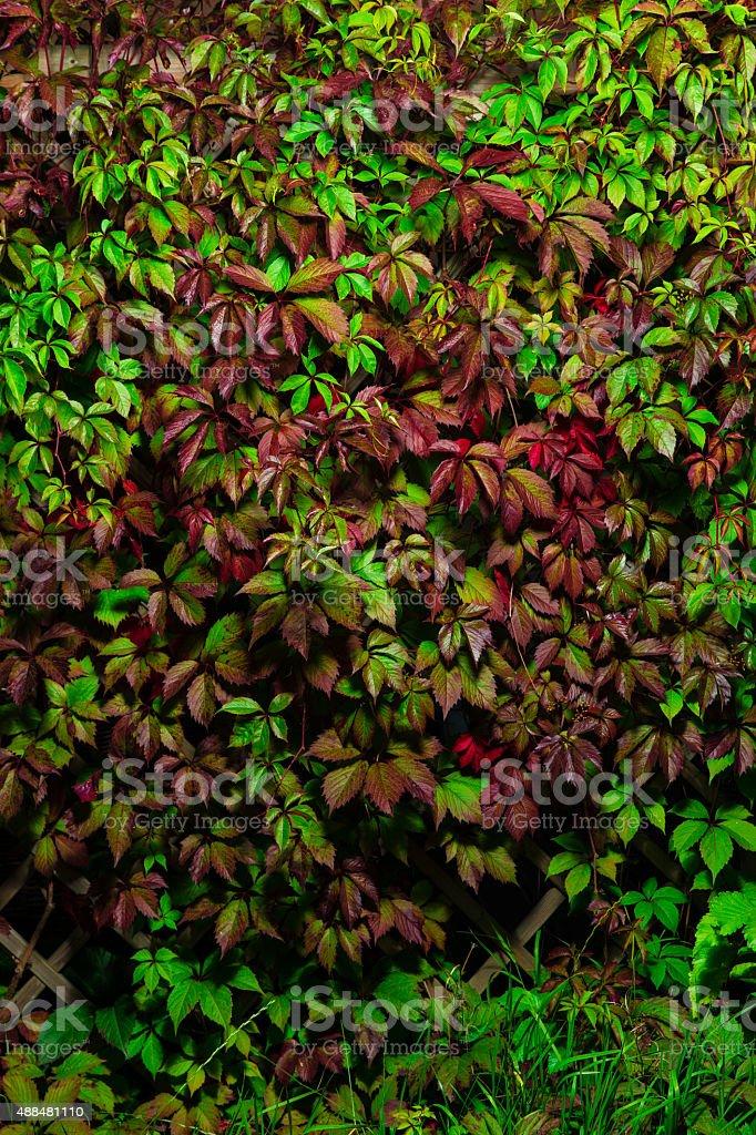 Wild grape wall stock photo
