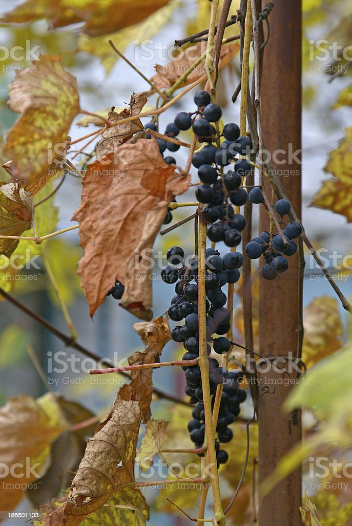 bunch of grapes, black grapes and colorful leaves, Ripe black grapes,...