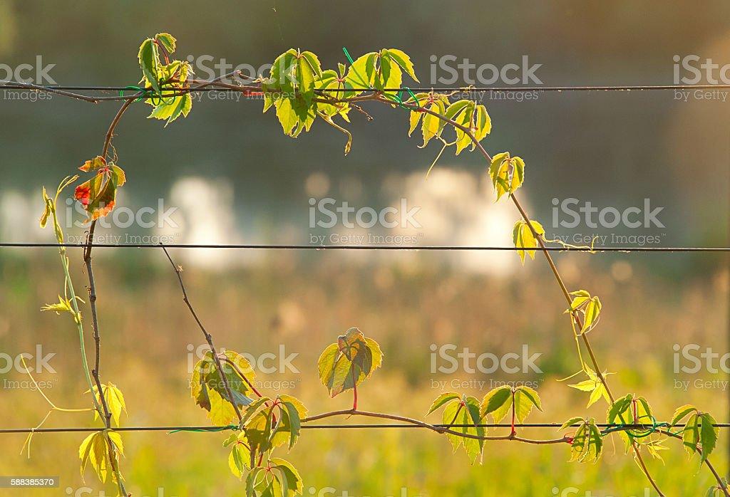 wild grapes. summer background Lizenzfreies stock-foto