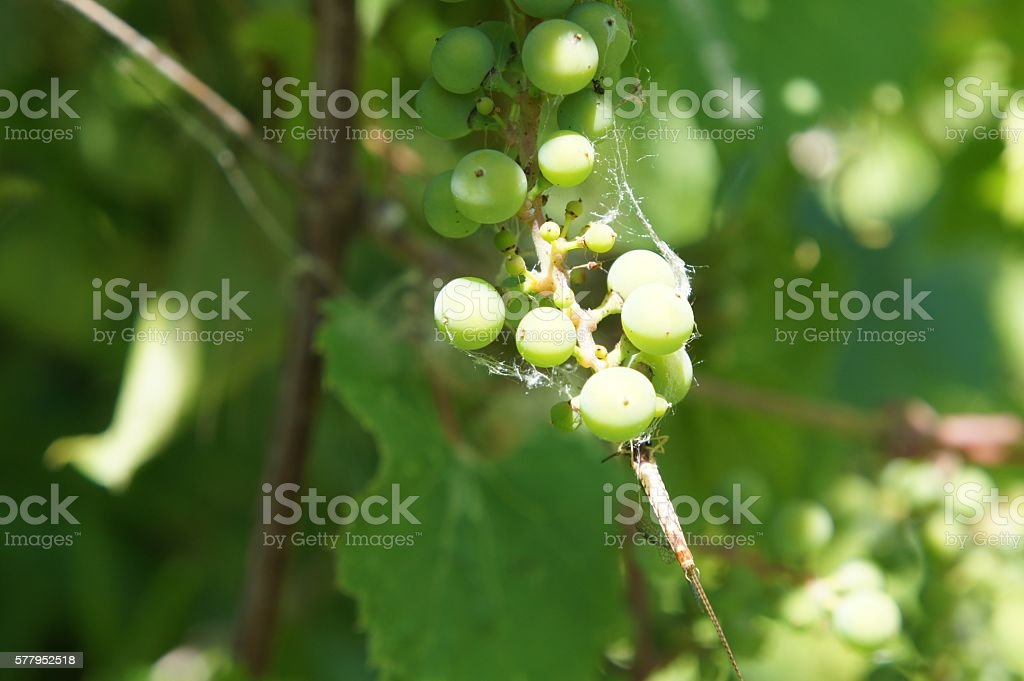 Wild Grapes with Spider Webs