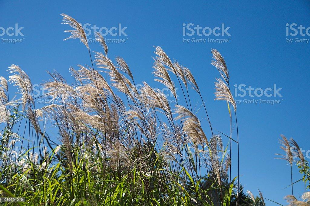 Wild grass against a blue sky stock photo