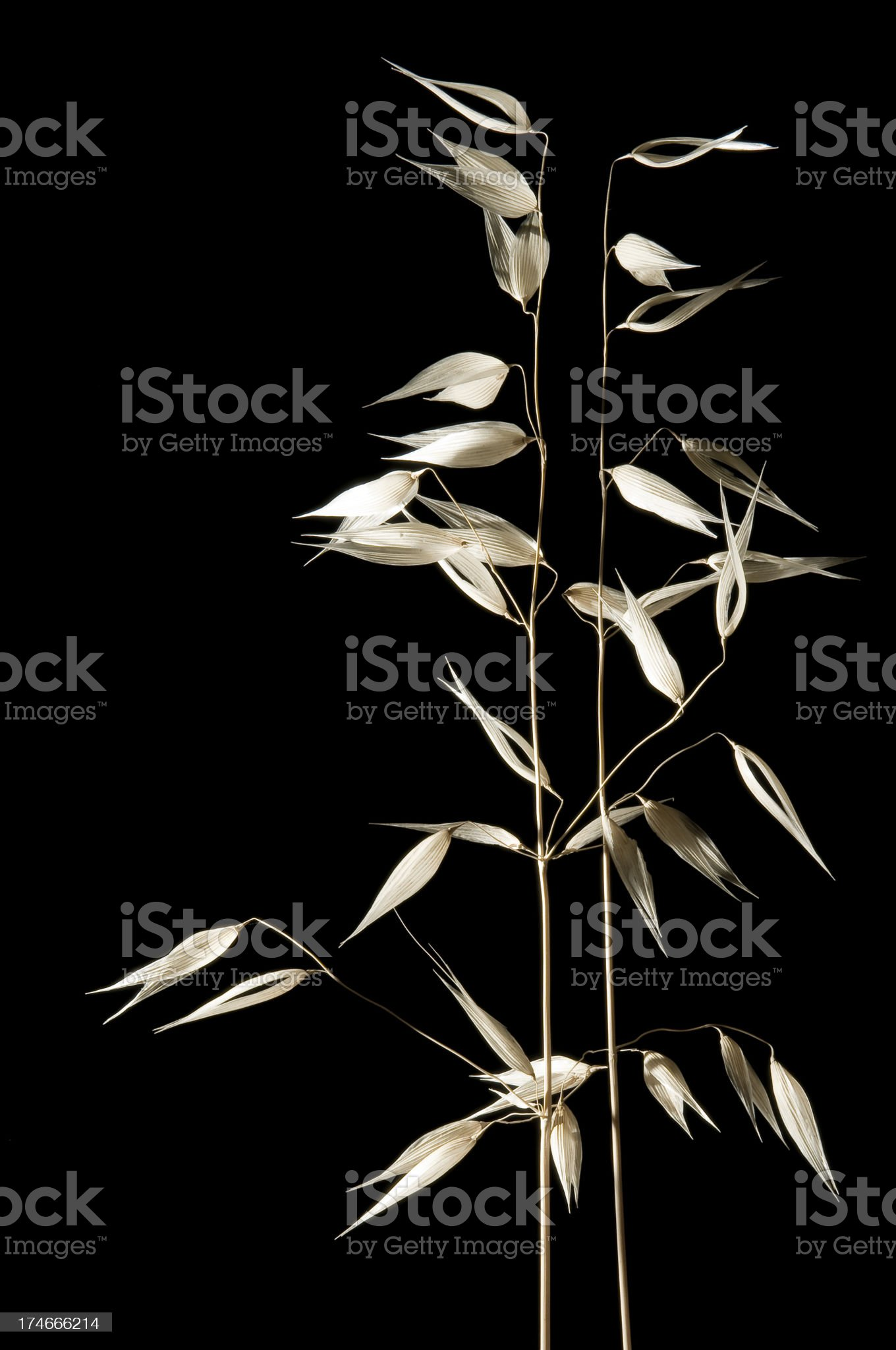 wild grass - full stems on black royalty-free stock photo