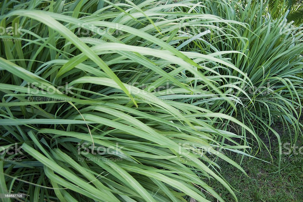 wild grass or wildgrass; lemongrass royalty-free stock photo