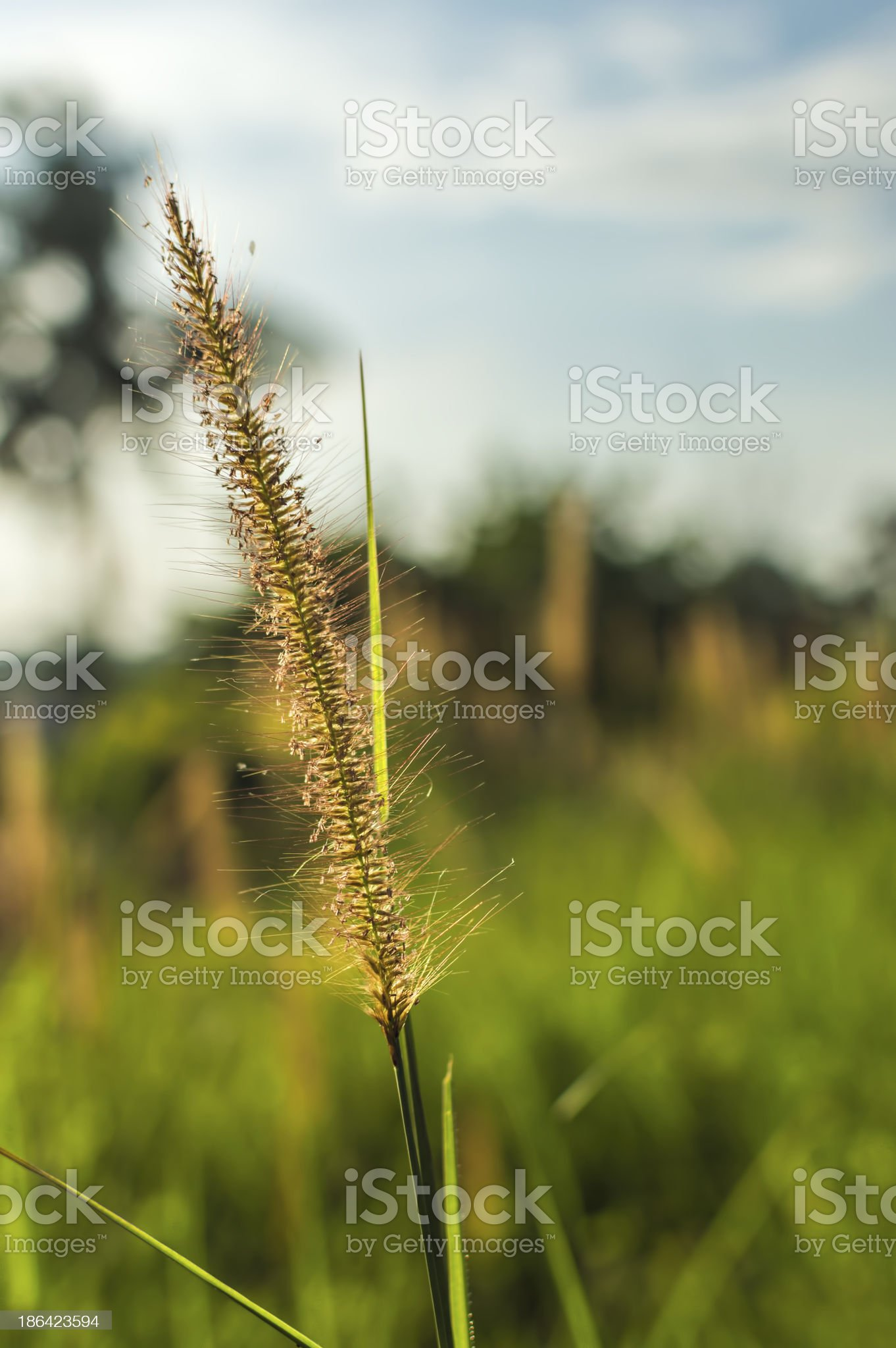 Wild grass royalty-free stock photo
