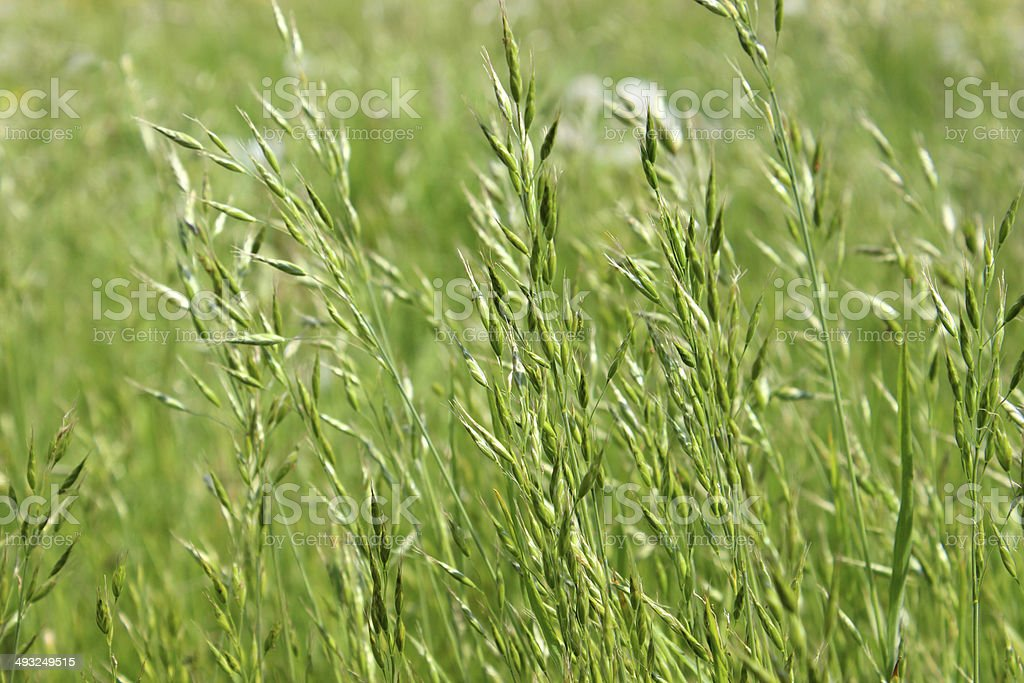 Wild grass seed in green countryside field, blowing in breeze stock photo