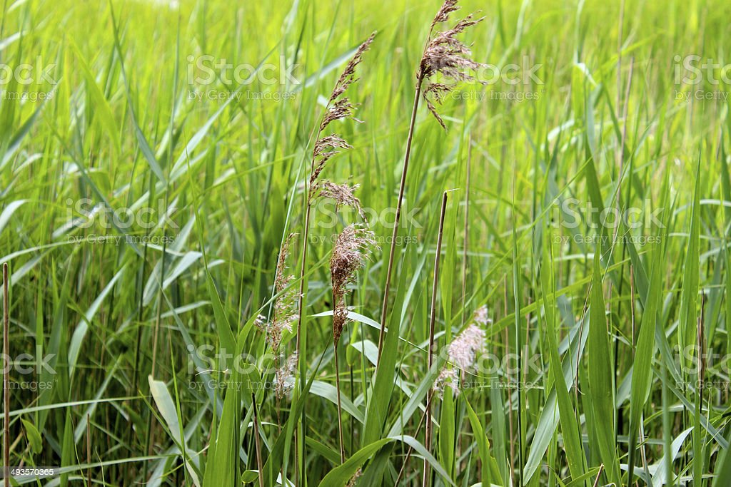 Wild grass seed in marsh by river, blowing in breeze stock photo