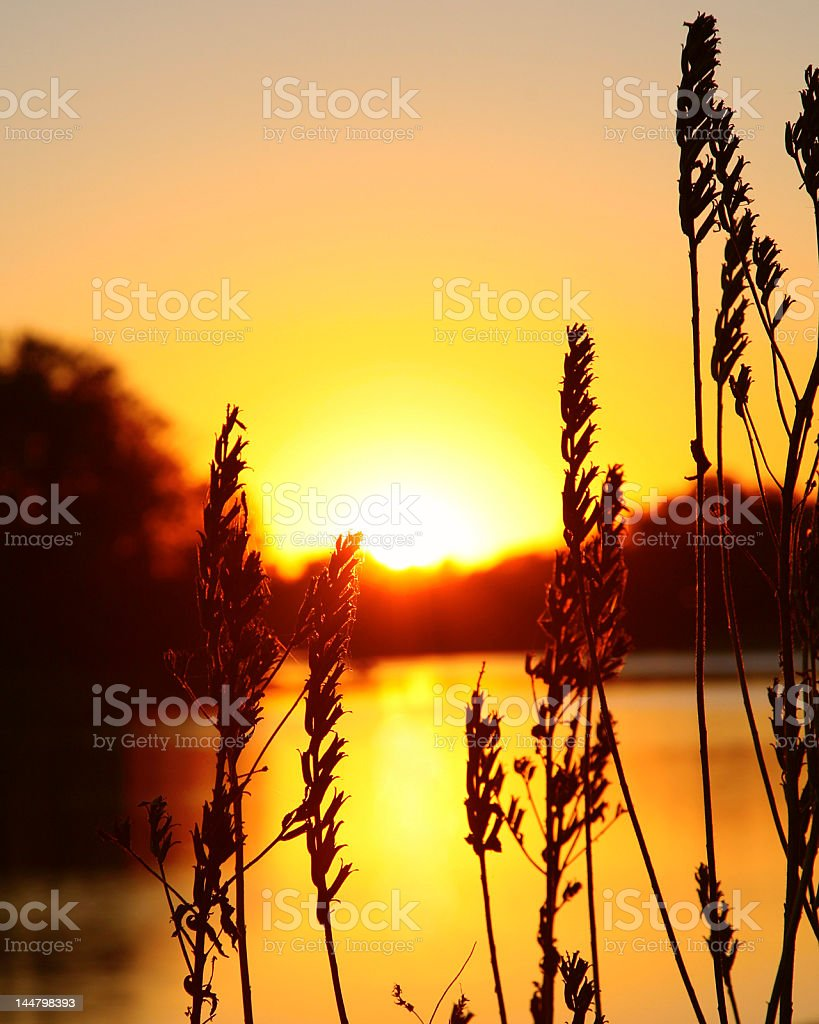wild grass sunset royalty-free stock photo