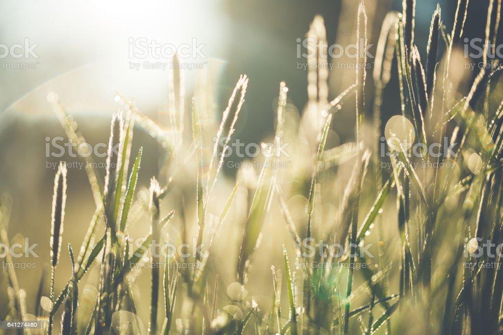 Wild grasses against bright sunlight in summer stock photo