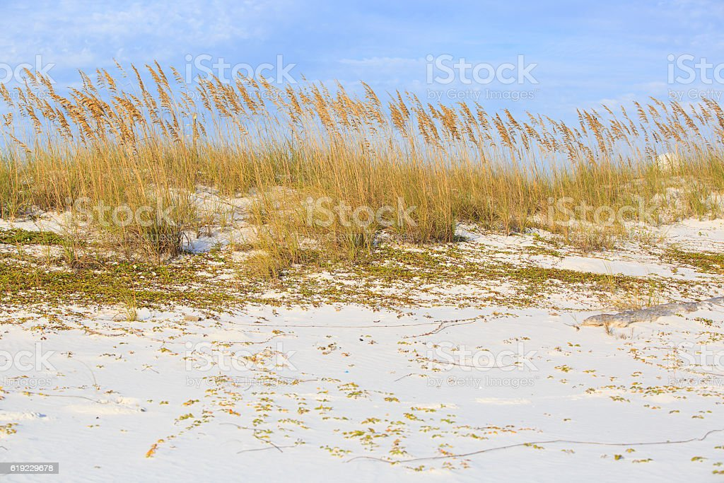 Wild grasses on Henderson state park beach sea coast. royalty-free stock photo