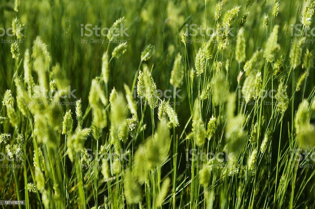 Wild Grasses royalty-free stock photo