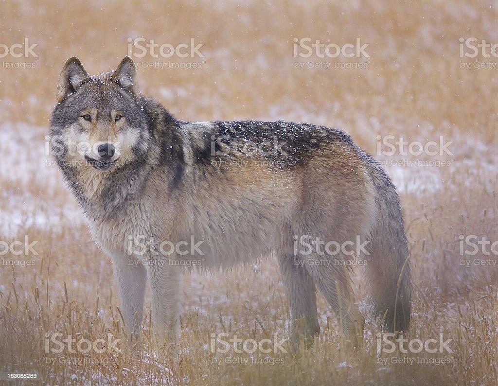 Wild Gray Wolf royalty-free stock photo