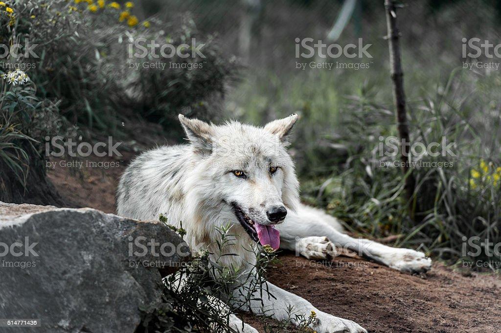 Wild gray wolf stock photo