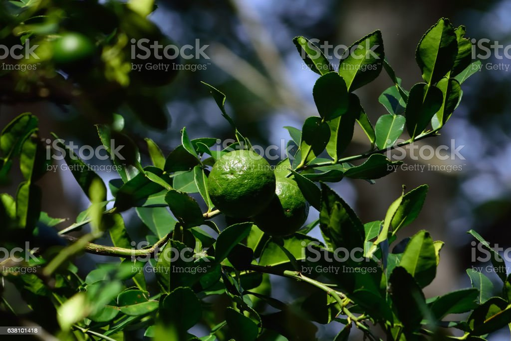 wild green citrus fruits on branch stock photo
