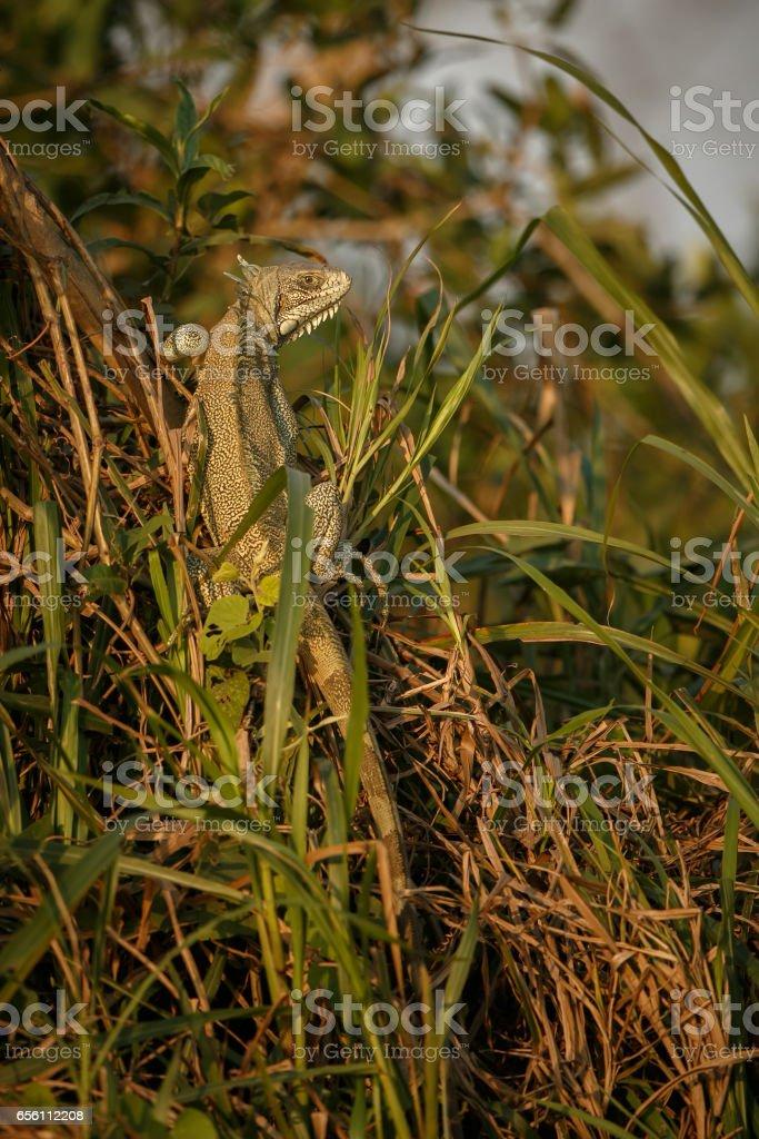 Wild green iguana close up in the nature habitat stock photo