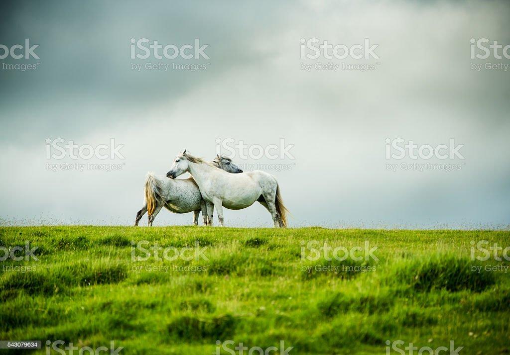wild grey horses couple, love concept stock photo