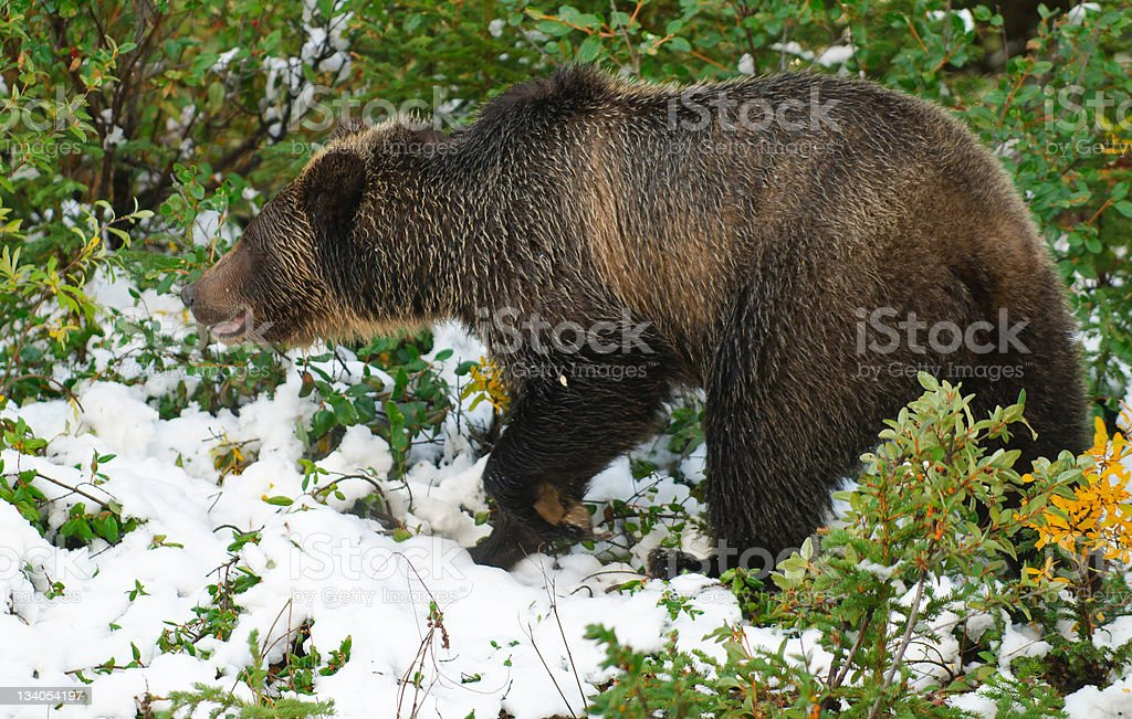Wild Grizzly royalty-free stock photo