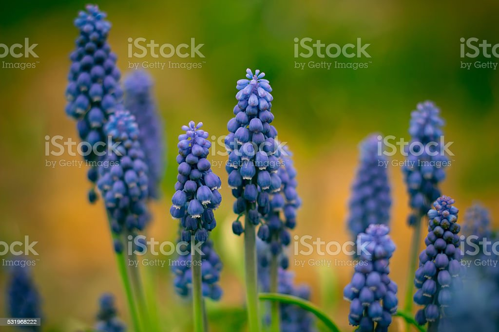 Wild growing flowers of a lupine in the field royalty-free stock photo