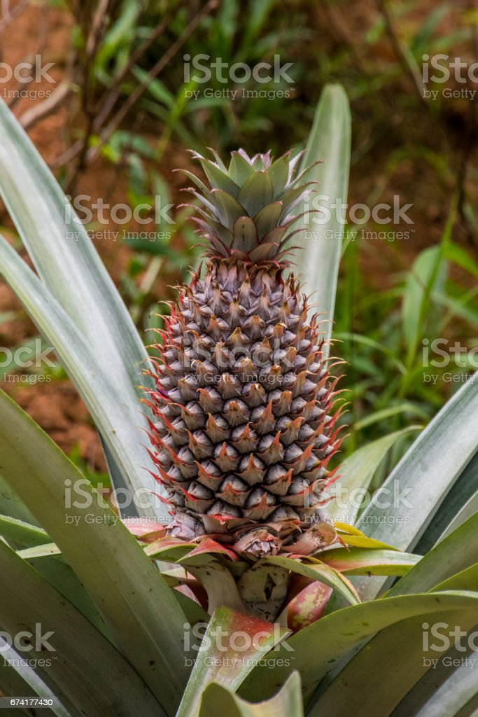 Wild growing pineapple in jungle stock photo