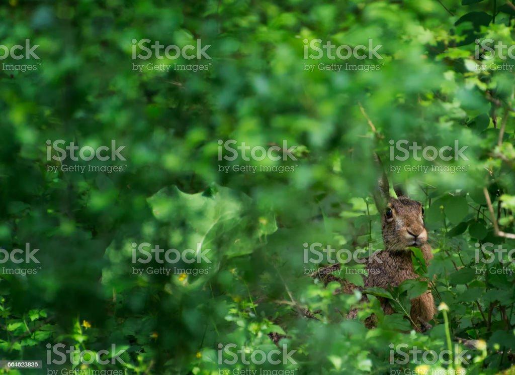 Wild Hare Hiding stock photo