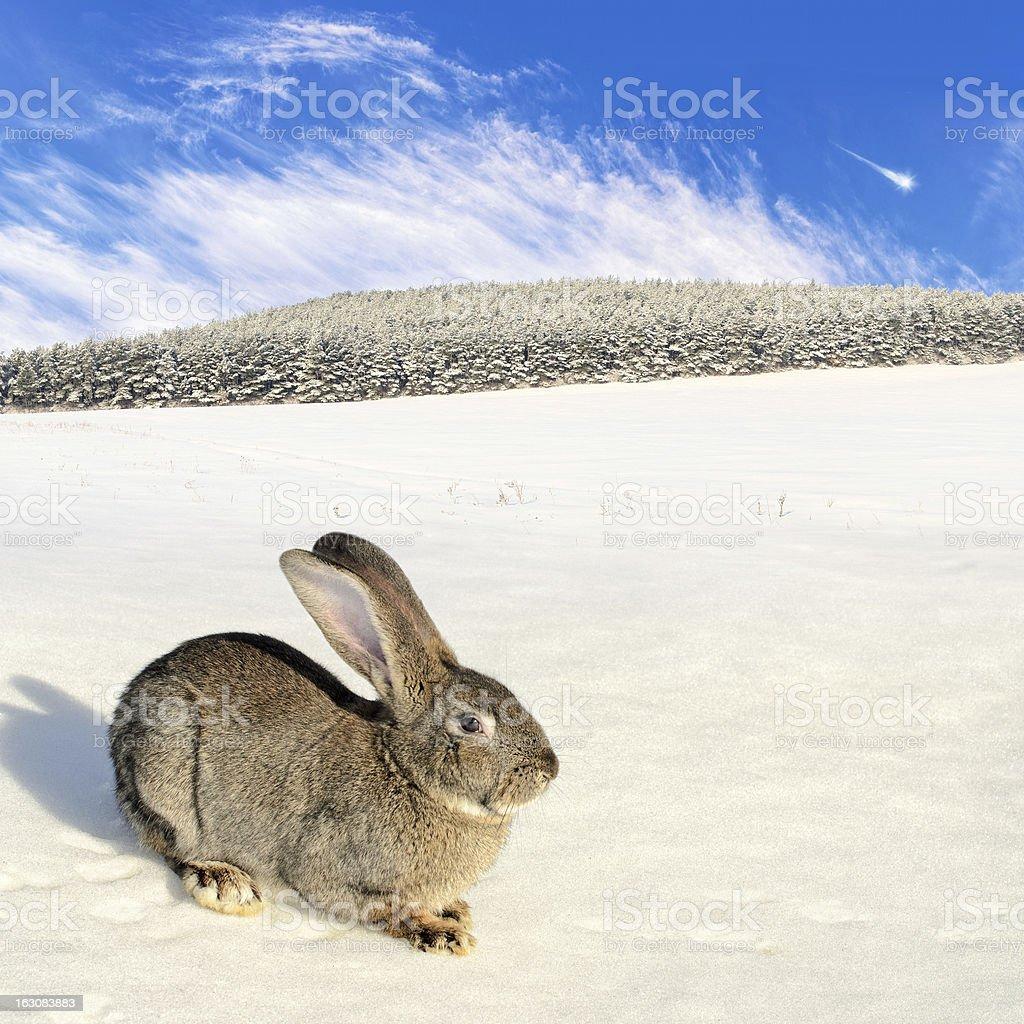 Lièvre sauvage sur le champ d'hiver photo libre de droits