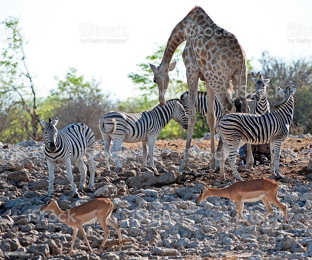 Wild harmony, Etosha National Park, Namibia, Africa stock photo